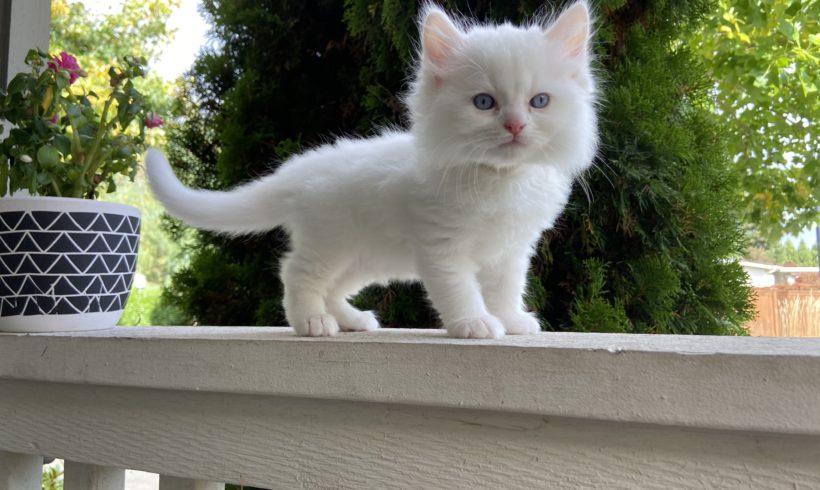 Blue-Eyed White