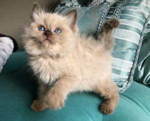 Chocolate Sepia Ragdoll Kitten