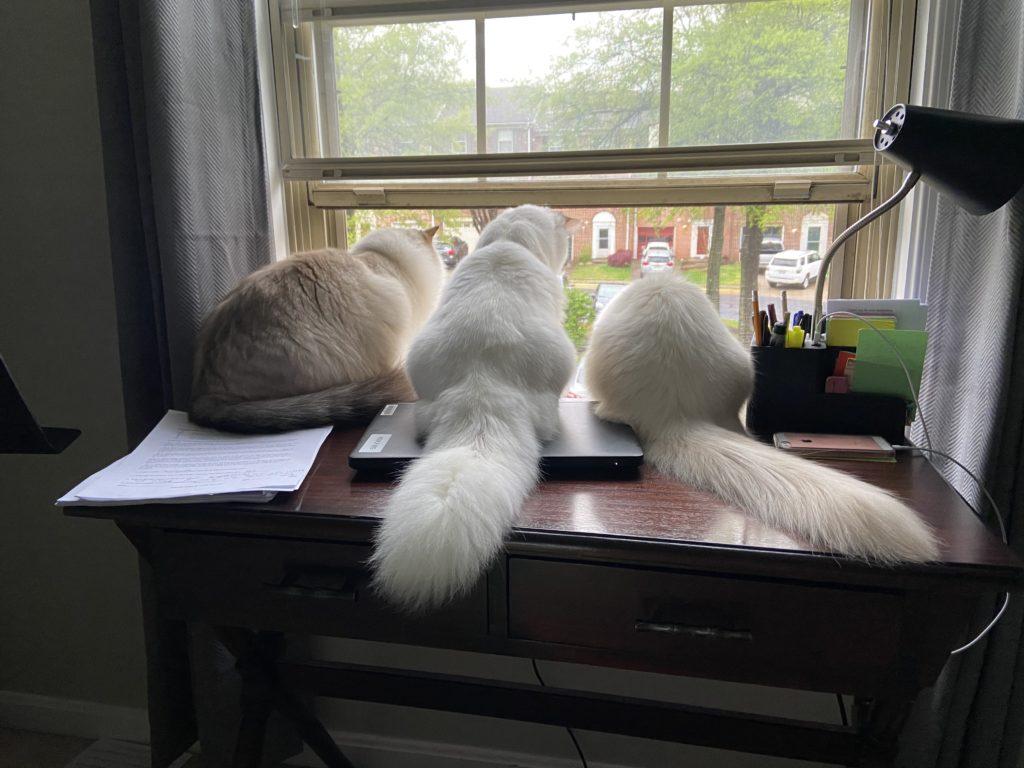 Fluffy Ragdoll Cats sitting in window